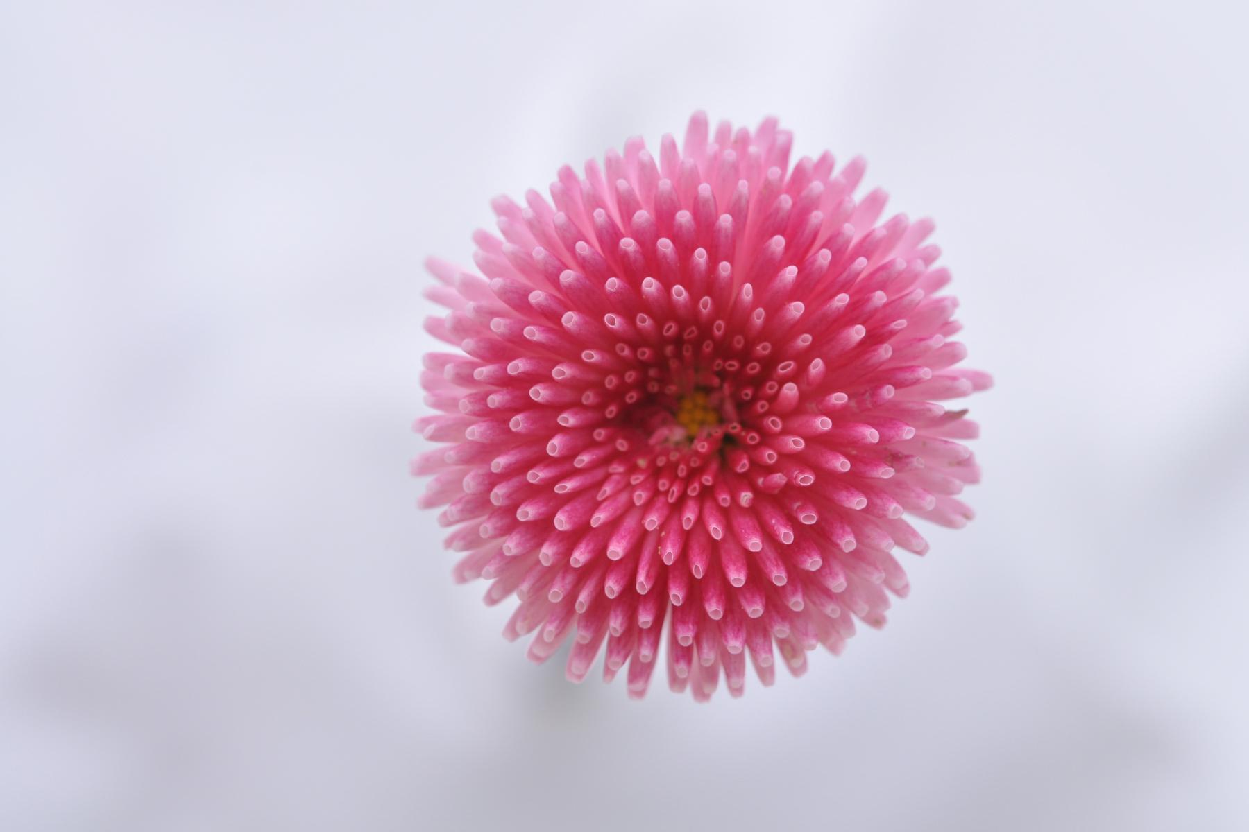 6256 - Rose
